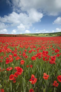 Poppies - Devils Dyke, Brighton,England (by antonyspencer) Brighton England, Brighton And Hove, England Uk, Beautiful World, Beautiful Places, Beautiful Pictures, Amazing Pics, Champs, Wild Flowers