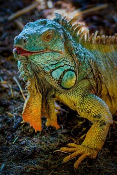 boneyardbaker … for all your gluten-free, casein-free organic treats … – Reptilien Les Reptiles, Reptiles And Amphibians, Mammals, Beautiful Creatures, Animals Beautiful, Colorful Lizards, Animals And Pets, Cute Animals, Chameleon Lizard