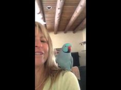 Blue indian ringneck parrot flies onto his human's shoulder, kisses, talks, and plays. <3 FUNNY AND ADORABLE! <3