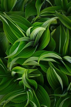 "Hosta 'Summer Green': I love Hosta's! I could have a whole ""bed"" of them! Hosta Plants, Shade Plants, Garden Plants, Hosta Varieties, Hosta Gardens, Poisonous Plants, Heuchera, Shade Garden, Shades Of Green"