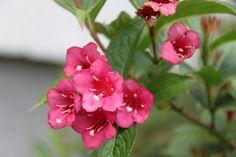 vajgela foto Daniela Rose, Flowers, Plants, Pink, Plant, Roses, Royal Icing Flowers, Flower, Florals