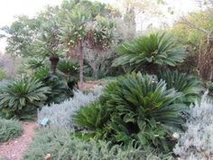 How To Grow Cycads - Information On Cycad Care Going as far back as the dinosaurs, cycad plants are great for all gardeners. These plants add interest both indoors and out. Learn more about growing cycads in this article. Backyard Pool Landscaping, Tropical Landscaping, Landscaping With Rocks, Landscaping Plants, Garden Plants, Landscaping Ideas, Texas Landscaping, Tropical Gardens, Shade Garden