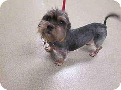 Maryland Heights, MO - Miniature Schnauzer/Cocker Spaniel Mix. Meet KASH, a dog for adoption. http://www.adoptapet.com/pet/17523235-maryland-heights-missouri-miniature-schnauzer-mix