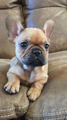 The major breeds of bulldogs are English bulldog, American bulldog, and French bulldog. The bulldog has a broad shoulder which matches with the head. Cute Baby Animals, Animals And Pets, Funny Animals, Cute French Bulldog, French Bulldog Puppies, Teacup French Bulldogs, Cute Puppies, Cute Dogs, Dogs And Puppies