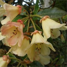 Compact Rhododendron 'Tidbit' AGM - not scented, (1957) blooms May