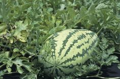 How to successfully grow watermelon