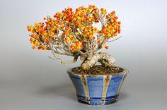 ツルウメモドキC(つるうめもどき・蔓梅擬)ミニ盆栽の販売と育て方・作り方・Celastrus orbiculatus bonsai