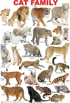 The Cat Family (Feline), La Famillia de Gatos. Big Cats, Crazy Cats, Cats And Kittens, Cute Cats, Siamese Cats, Small Wild Cats, Animals And Pets, Baby Animals, Cute Animals