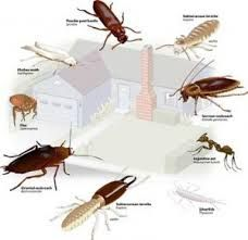 Two species of bed bug occur in Australia, Cimex lectularis and ...