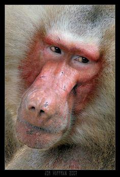 c'mon now baboon