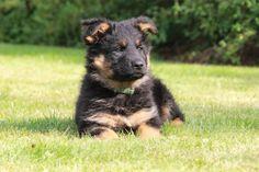 ještě štěně ... Chodský pes ... ČERT