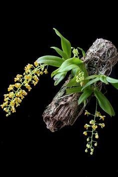 Orchid: Zygostates lunata - Flickr - Photo Sharing!