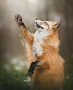 fox, Animals, Wildlife, Nature Wallpapers HD / Desktop and Mobile Backgrounds Cute Baby Animals, Animals And Pets, Funny Animals, Wild Animals, Beautiful Creatures, Animals Beautiful, Fantastic Fox, Pet Fox, Fox Art