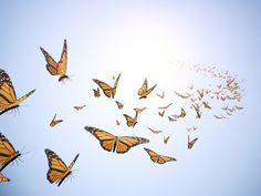 Butterfly Release for Weddings by Enchanted Butterflies will fill the sky with beautiful butterflies for your next wedding.Call us at 855-656-5056 to get the best butterflies you can buy. http://www.enchantedbutterflies.com/butterfly-release-for-weddings
