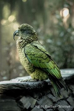 "tiny-creatures: ""The Kea by MaxK-W "" Kinds Of Birds, Love Birds, Beautiful Birds, Animals Of The World, Animals And Pets, Cute Animals, Australian Birds, Bird Drawings, Big Bird"