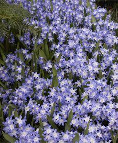 Hyacinthoides hispanica dainty maid scilla hyacinthoides chionodoxa gigantea syn c luciliae lavender blue with a small white mightylinksfo