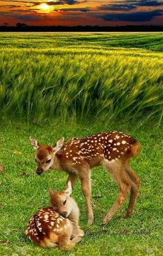 Two Fawns at the Edge of a Beautiful Green Field. Two Fawns at the Edge of a Beautiful Green Field. Deer Photos, Deer Pictures, Cute Animal Pictures, Nature Animals, Animals And Pets, Wild Animals, Beautiful Creatures, Animals Beautiful, Cute Baby Animals