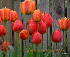 Flower Photography Greeting Card Pink Yellow Red Tulips Against Barn Wood Fence Wall Art Photo Print.