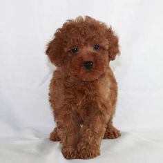 Toy Poodle Breeder & AKC Puppies for Sale Los Angeles CA from Scarlet's Fancy Red Poodle Puppy, Poodle Hair, Poodle Puppies For Sale, Tiny Puppies, Kittens And Puppies, Toy Goldendoodle, Toy Poodles For Sale, Puppy List, Red Poodles