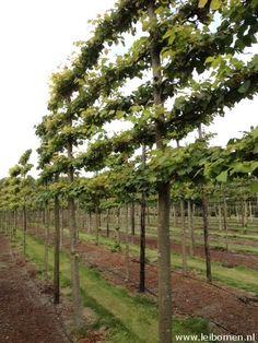 Leilinde,  Tilia pallida, ofwel de koningslinde, is van oudsher de meest gebruikte leiboom.  Tilia pleaced spalierbaum