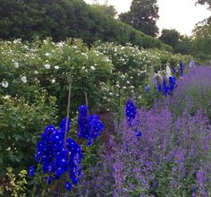Delphinium in contrast to pure white shrub roses – nepteta in the foreground