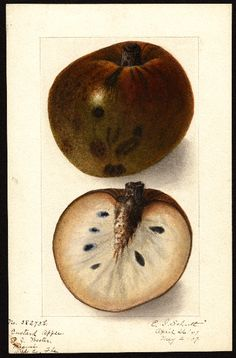 Artist:     Schutt, Ellen Isham, 1873-1955  Scientific name:     Annona reticulata  Common name:     custard apple  Geographic origin:     Miami, Dade County, Florida, United States  Physical description:     1 art original : col. ; 17 x 25 cm.  Specimen:     38273b  Year:     1907  Notes on original:     Cherimoya  Date created:     1907-05-02
