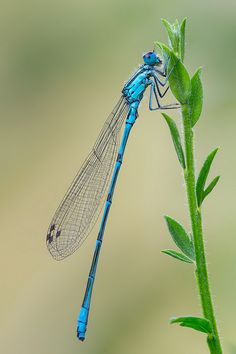 you can spot the difference when the insect is at rest. Dragonflies hold their wings out perpendicular to their bodies when resting, like an airplane. Damselflies fold their wings up and hold them together across the top of their backs.