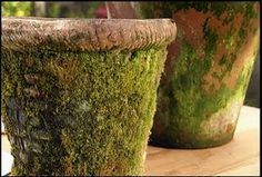 Mossy Pots--just put 3/4 cup plain active cultured yogurt into a blender, add a handful of moss and about 3/4 cup water, and blend for about 30 seconds. Use a paintbrush to spread the mixture wherever you want moss to grow on your terracotta pots.