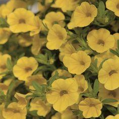 Million Bells® Trailing Yellow Calibrachoa Plant