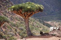 Ba'a, Socotra, Yemen — by Jules. Dragon's Blood Tree in flower.