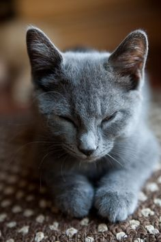 Russian Blue Cats Evie's Boo Boo in Careful.*************** Russian Blue Cat by Christina Carty-Francis Cute Cats And Kittens, Kittens Cutest, Fluffy Kittens, Baby Kittens, I Love Cats, Cool Cats, Fluffy Animals, Cute Animals, Animals Images