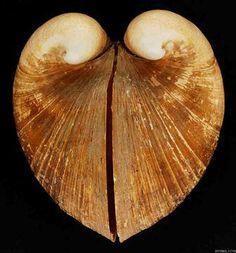 Glosus humanus (L., 1758), το ισοκάρδιο, από την υδροβιολογική συλλογή του Μουσείου Γουλανδρή Φυσικής Ιστορίας - Glosus humanus (L., 1758), from the marine biology collection of the Goulandris Natural History Museum Creator : Μουσείο Γουλανδρή Φυσικής Ιστορίας - Goulandris Natural History Museum Compleat Angler, Mermaid Purse, Linnaeus, Green Street, Pub, Seashells, Fossils, Fractals, Cosmos