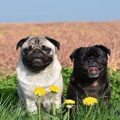 Best friend goals ❤️...We are symbol of love. #pug #pugs #puglia #puggle #puggy #dog #dogs