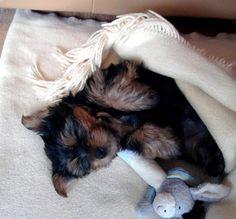 Yorkshire Terrier Hektor Hundemüde! Wer macht mich wach? #Hundename: Hektor / Rasse: #Yorkshire Terrier      Mehr Fotos: https://magazin.dogs-2-love.com/foto/yorkshire-terrier-hektor/ Foto, Hund, Rasse