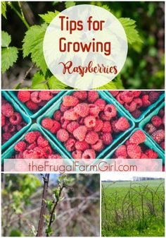 Here are tips you need to know to grow raspberries successful. You may find some of these gardening tips surprising.  via @tasiaboland