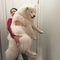 Samoyeds are the fluffiest things to walk this planet. 21 Reasons Why Samoyeds Are Perfect Clouds Of Joy Huge Dogs, I Love Dogs, Small Dogs, Cute Baby Animals, Funny Animals, Funny Dogs, Cute Puppies, Dogs And Puppies, Doggies