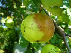 Jeśli jabłka gniją na drzewach, to znak, że na jabłoni plenią się pasożytnicze grzyby. Można ograniczyć ich niszczycielską działalność lecz nie w 100%.