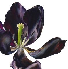 Rosie Sanders 'Tulip II', Watercolour on Arches 640gsm paper, painting, 73 x 73cm