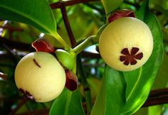 Mangosteen #1: THE QUEEN OF FRUITS | Flickr - Photo Sharing!