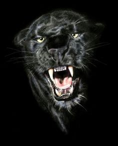 A black panther from Africa or Asia is a leopard; a black panther from the Americas is a jaguar. Black panthers are the melanistic color variant of any Panthera species. Beautiful Cats, Animals Beautiful, Big Cats, Cats And Kittens, Animals And Pets, Cute Animals, Angry Animals, Baby Animals, Exotic Pets