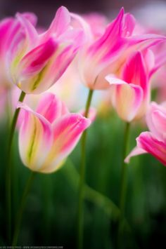 ~~Pink and White Tulips by joedanielprice~~