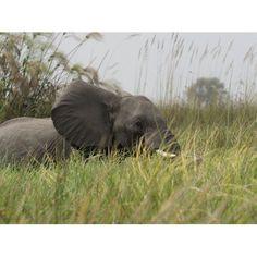 Elephant walking through grass Okavango Delta Ngamiland Botswana Canvas Art - Panoramic Images (12 x 16)