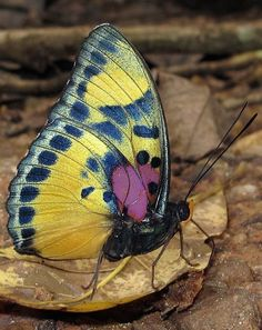 Nigeria has the largest diversity of butterfly all over the world, because of the very suitable habitats. Home the most colorful creatures.