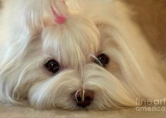 Maltese Greeting Card featuring the photograph I'm Listening by Lois Bryan