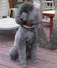 """Poodle Dogs """"The Beautiful China"""" """"are you pure bred like me, I don't think so. Dog Training Methods, Basic Dog Training, Dog Training Techniques, Training Dogs, Poodle Grooming, Dog Grooming, Rottweiler, Silver Poodle, Puppy Obedience Training"""