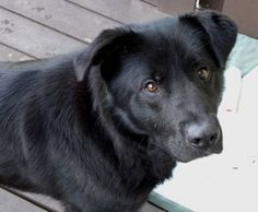Lab/Chow mix on Pinterest | Black Lab Mix, Labs and Chow Chow