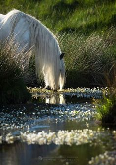 White horse drinking from the cool bubbling brook. White horse drinking from the cool bubbling brook. All The Pretty Horses, Beautiful Horses, Animals Beautiful, Cute Horses, Horse Love, Horse Photos, Horse Pictures, Majestic Horse, Clydesdale