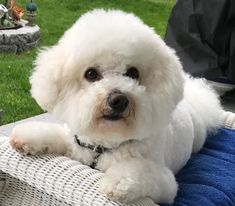 Super Cute Puppies, Cute Dogs, Adorable Puppies, Cute Funny Animals, Cute Baby Animals, Bichon Dog, Bichons, Cute Puppy Pictures, Kittens And Puppies