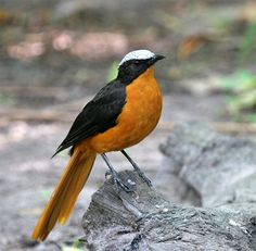 White Crowned Robin- (white-crowned robin-chat) is a species of bird in the Muscicapidae family (OLD WORLD FLYCATCHERS). It is found in Benin, Burkina Faso, Cameroon, Central African Republic, Ivory Coast, Ethiopia, Gambia, Ghana, Guinea,