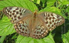 Keisarinviitta (Argynnis paphia)